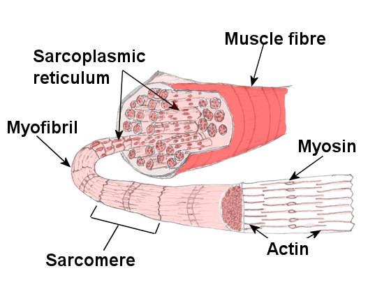 Принцип роста мышц